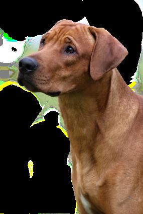 """ASIM"" Haker Rudy Urok – STUD DOG"